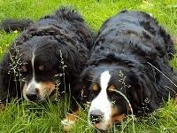 Berner Sennenhonden